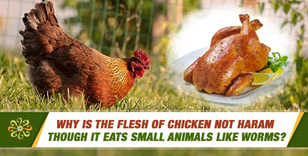 Why is the flesh of chicken not haram though it eats small